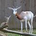 Female Dama Gazelle Born at the Smithsonian's National Zoo