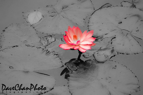 Lotus flower in muddy water new car release date lotus flower in muddy water lotus in mud growing out of mud mightylinksfo