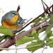 Northern Parula 4-20121014
