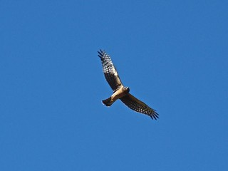 Female Northern Harrier - Bosque | by Diatoms
