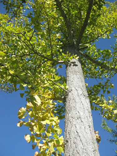 ginkgo trees and big blue sky II | by Golly Bard