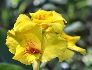 Canna Lilies in the Marsh Garden | Squash Goddess | Flickr