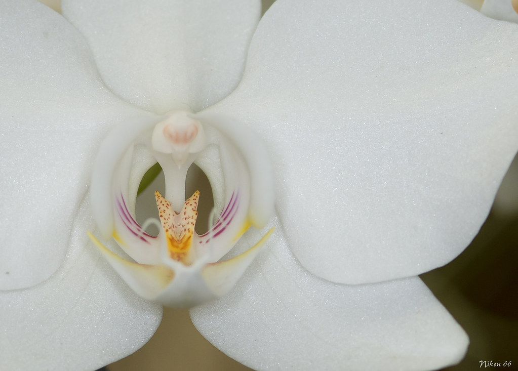Missouri botanical garden s 2013 annual orchid show no - Orchid show missouri botanical garden ...
