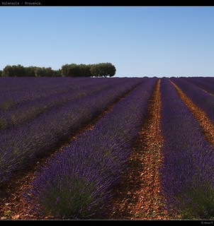 Lavender field (On Explore 2012-10-25 ... best rank #1... thank you all) | by Arnaud D...