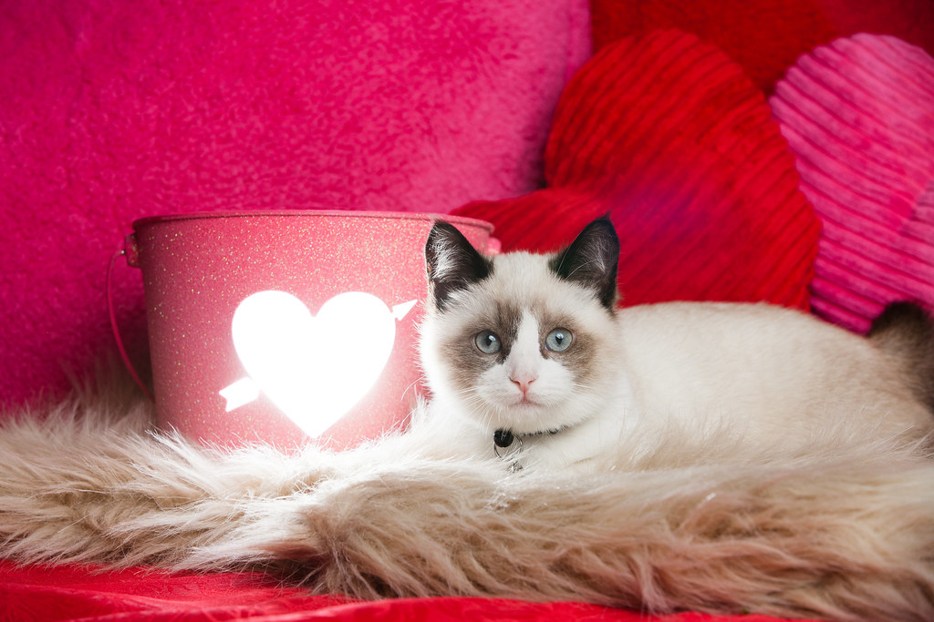valentines day ragdoll kitten with pillows 2 by found animals - Valentines Animals