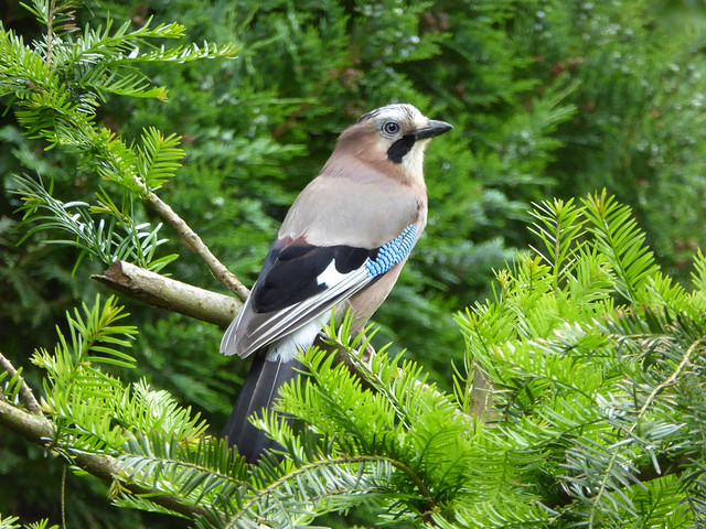 The Mama Jay Returns - Eurasian Jay - Garrulus glandarius