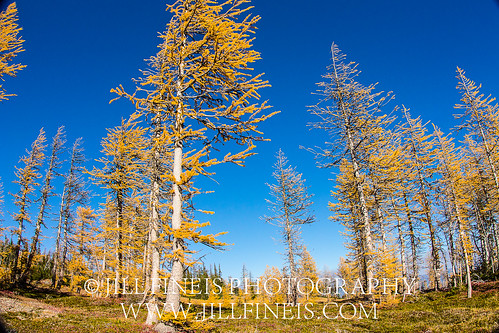 blue sky and larches | by jillfineis