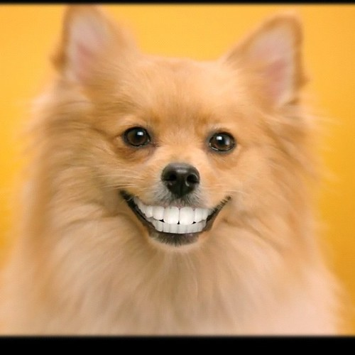 #chihuahua #cute #dog #funny #smiley #face #smile #pretty ...