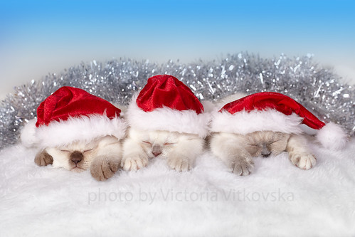 Kittens Wearing Santa Hats Cats Wearing Santa Hats