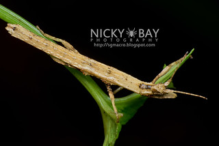 Stick Insect (Phasmatodea) - DSC_7965 | by nickybay