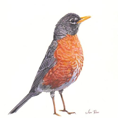 American Robin Drawing American Robin | by Ianreesart