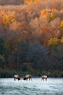 Fall Elk Rut | by Jeff Rose Photography