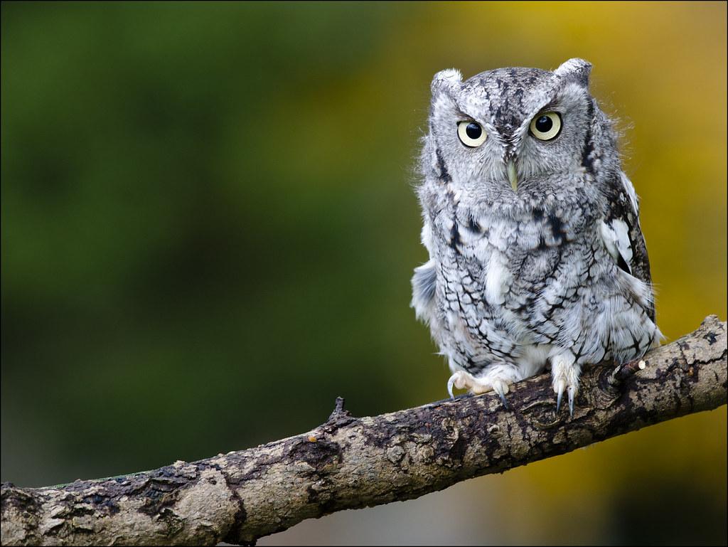 Eastern Screech Owl 25