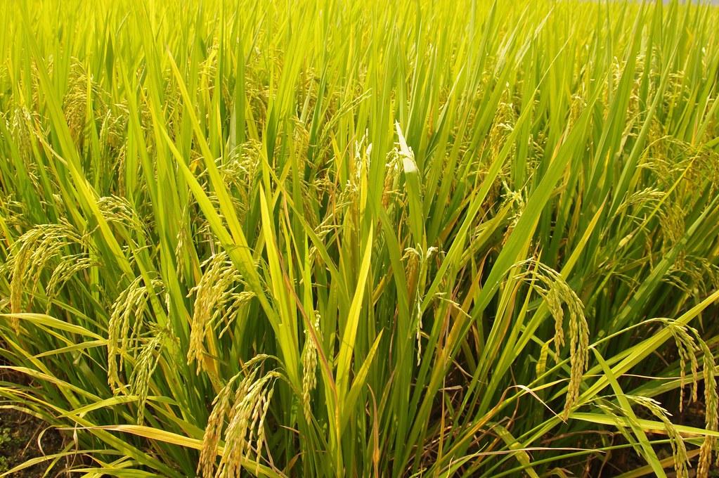 「稻米」的圖片搜尋結果