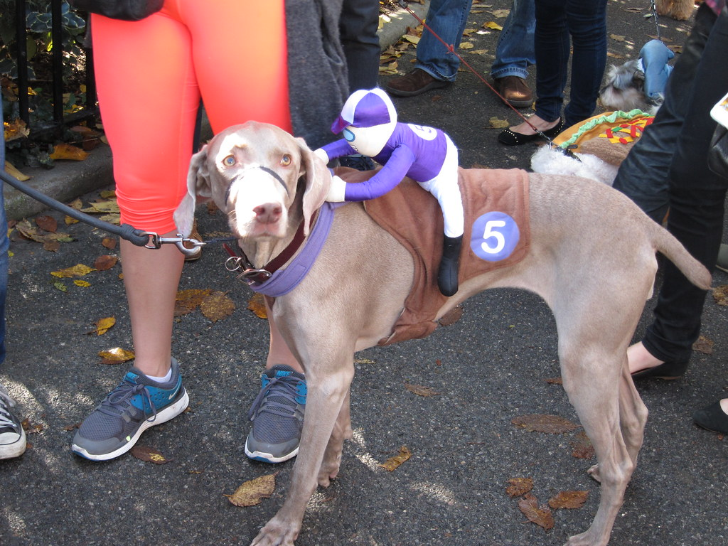 Weimeraner race dog costume terms of use please for Best dogs for you
