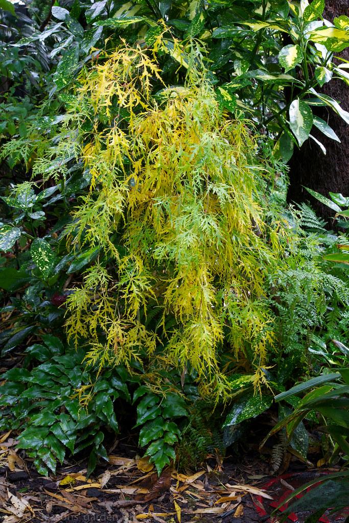 Autumn Acer palmatum dissectum 'Viridis' (Green Lace Leaf ...