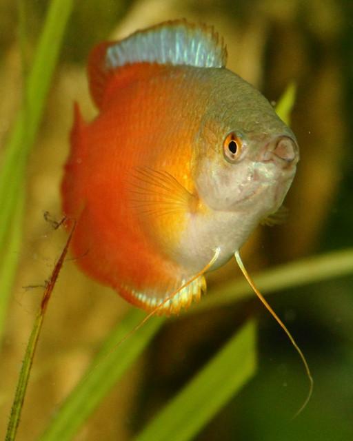 Project 365 5 Dwarf Gourami Tropical Freshwater Fish