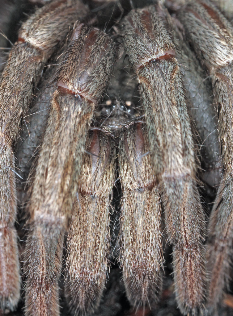 Wolf Spider Pictures California Funne...