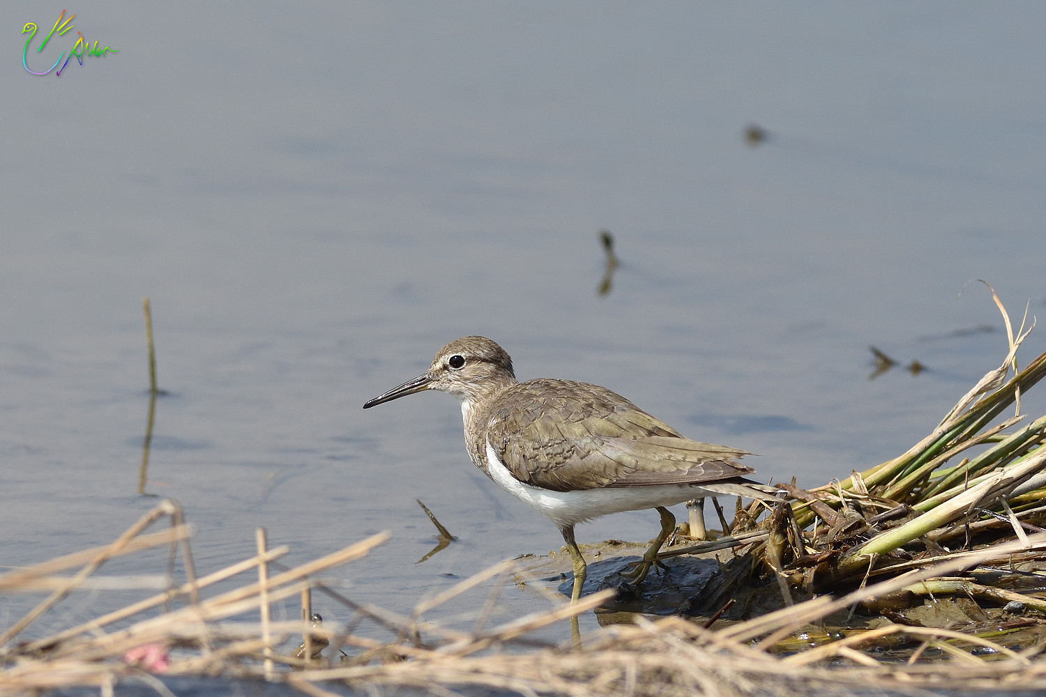 Common_Sandpiper_8736