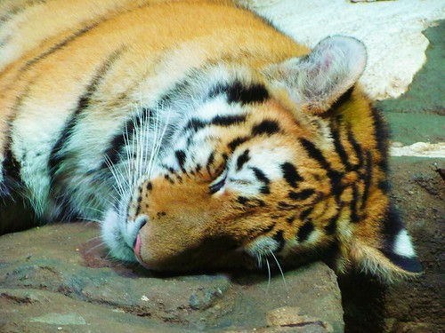 Snoozing Tiger | by TrueWolverine87