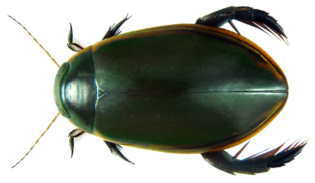 Cybister Fumatus Sharp 1882 Female Family Dytiscidae