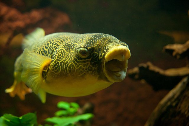 The gallery for dwarf puffer fish puffed up for Dwarf puffer fish for sale