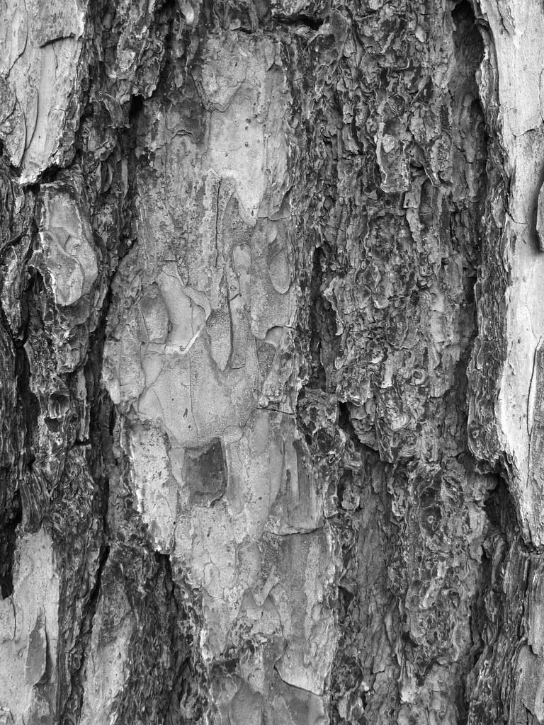 Shortleaf Pine Leaf Shortleaf Pine Bark