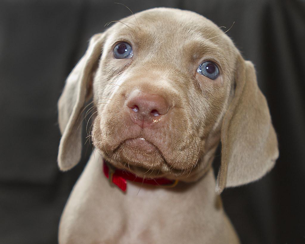 Blue Eyed Weimaraner Puppy