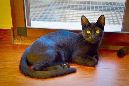 Selva, gatita Pantera guapa, estilizada y divertida esterilizada, nacida en Mayo´16, en adopción. Valencia. ADOPTADA. 29727648000_abd9411f52