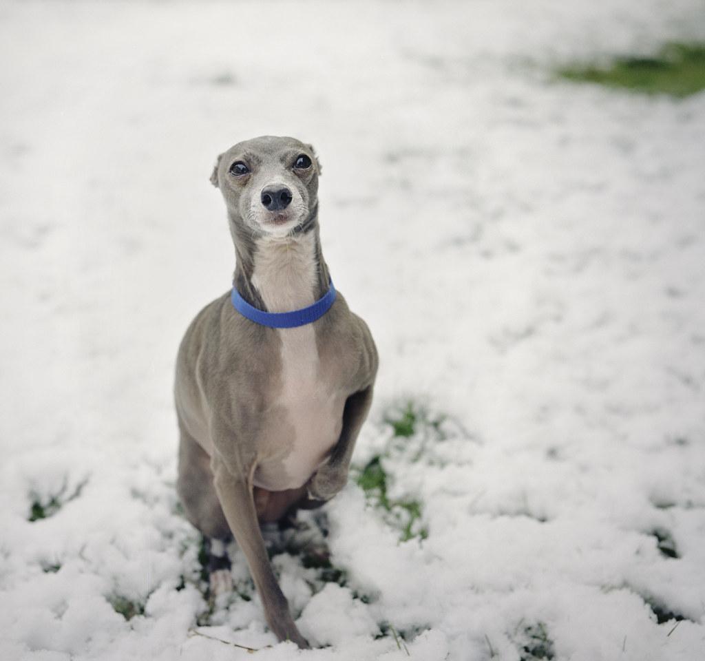 dogscape italian greyhound poststravaganza 19 i have