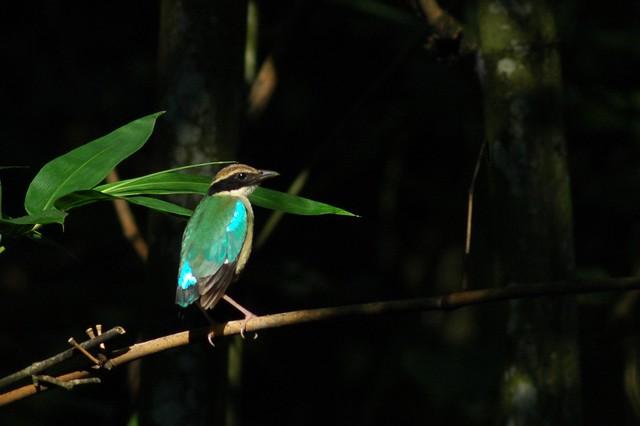 八色鳥不僅列入國家/全球受脅名單,也是台灣森林鳥種中,唯一族群狀況下降的鳥種。攝影:林瑞興,南投林管處提供。