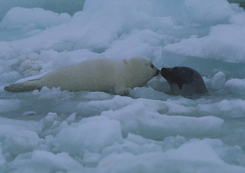 Harp seal, mother and pup | by @ilovegreenland