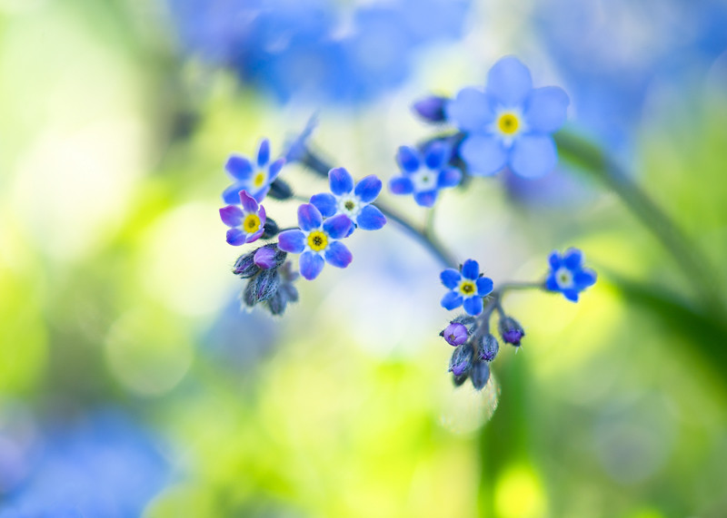 Photograph Forget me not Canvas