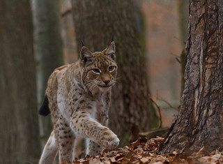 Luchs | by Karamellzucker