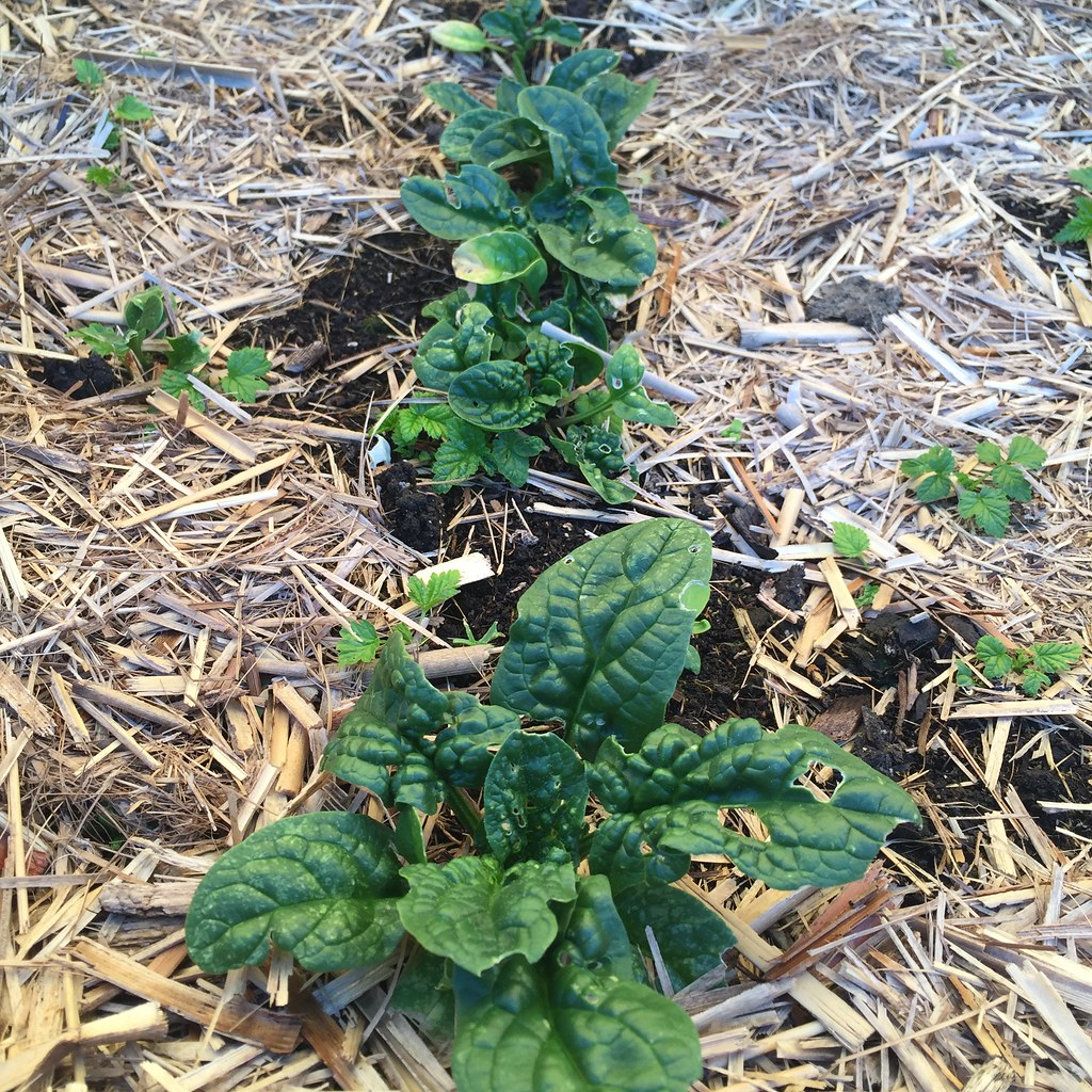 semi-established spinach plants, interspersed with little raspberry shoots