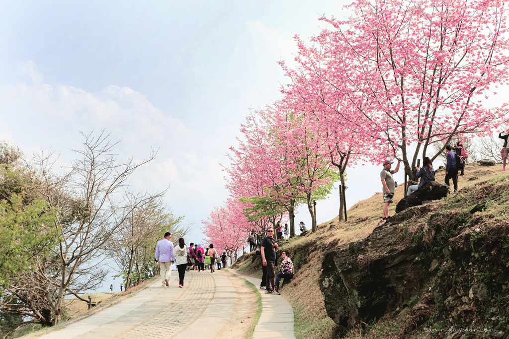 cherry-bloosm-road-taiwan