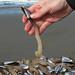 pelagic gooseneck barnacle