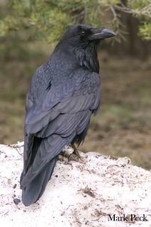 Common Raven Corvus corax