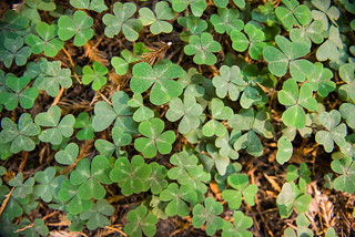 Clover undergrowth, Muir Woods National Monument | by kern.justin