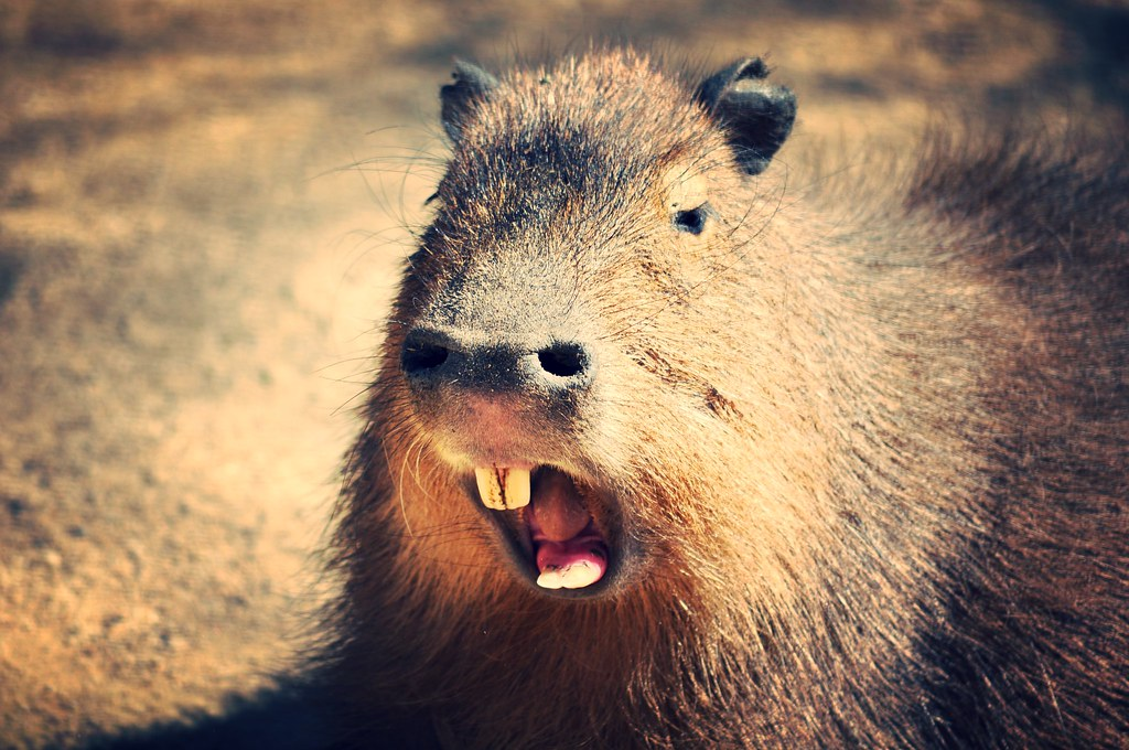 how to buy a capybara