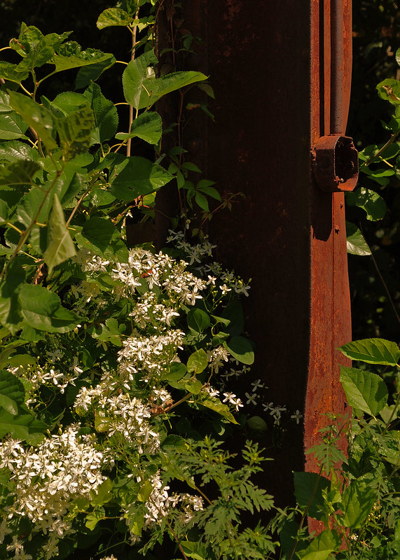 Belle Isle - Clematis paniculata (2)