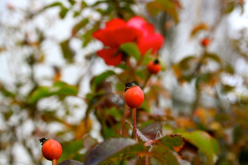 11/3/12 Rosehips | by rayfamilyfarm