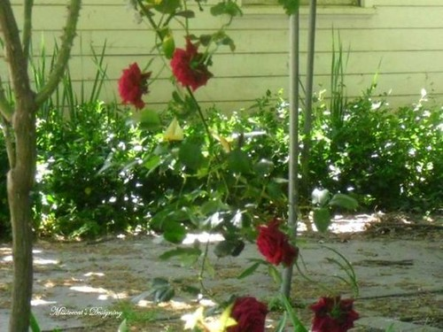 Red Scenery Pictures Red Rose Garden Scenery by