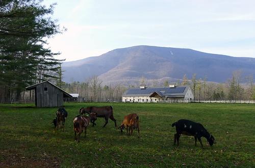 Hildene Farm with Nubi...