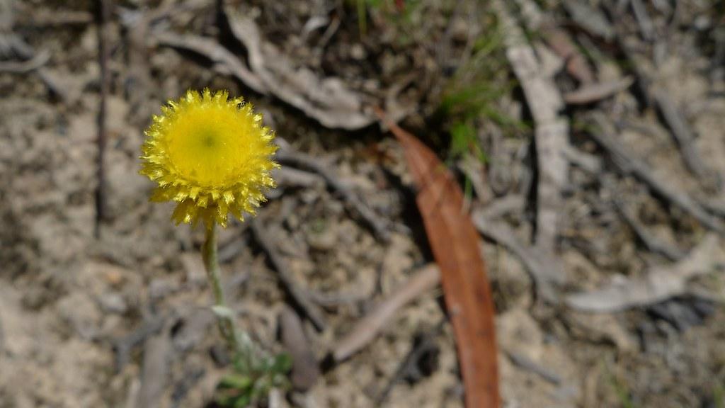 Yellow buttons yellow buttons chrysocephalum apiculatum flickr yellow buttons by john tann mightylinksfo