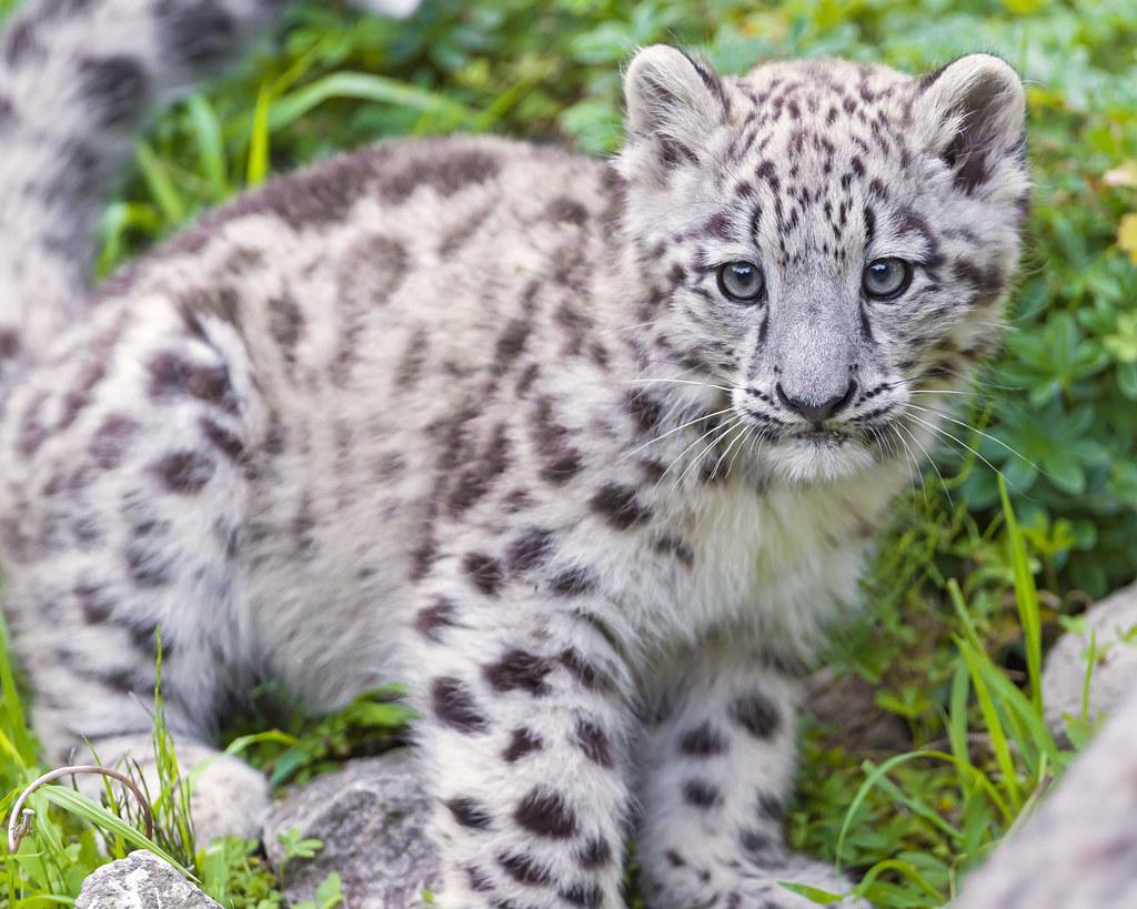 Cute baby white jaguars photo2