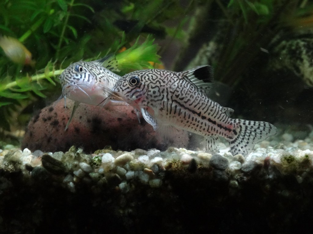 corydoras julii | yup its baby making time again | h080 ...