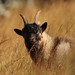 Strathfarrar Feral Goat