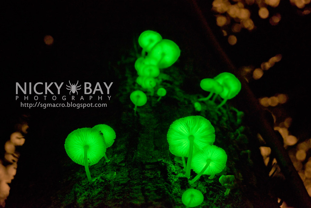 bioluminescence in fungi essay
