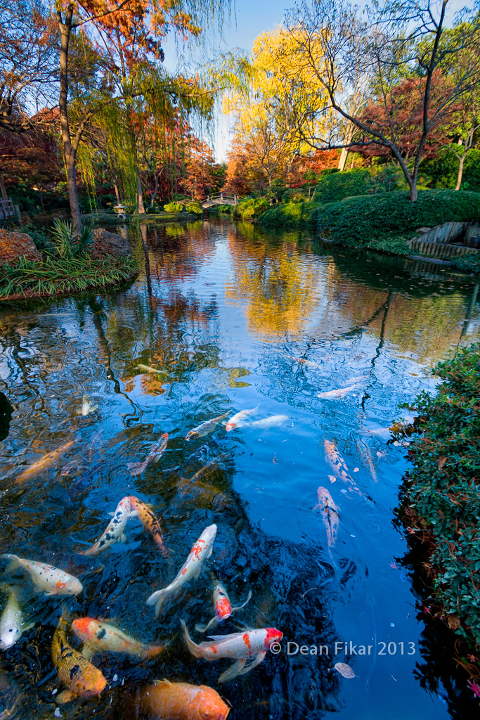 Koi fish pond japanese gardens dfikar flickr for Koi pool water gardens thornton
